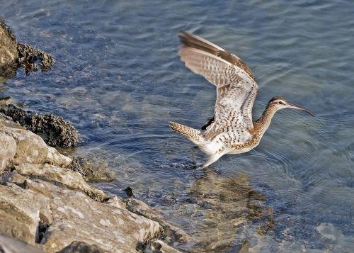 ilgai apmokestintas kreivas,paukštis,skraidantis,kreivas,laukinė gamta,vanduo,gamta,sąskaitą,ilgai,snapas,kranto bird,laukiniai,kranto,vandenynas,Wader,vandens paukštis,ilgalaikiai mokėjimai,maitinimas,fauna