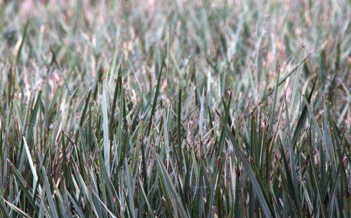 ilgai, sausas, žolė, senas, žiema, miręs, džiovintas, sausra, fonas, tekstūra, nepaisyti, vanduo & nbsp, apribojimas, galūnės, troškulys, ilgai sausa žolė