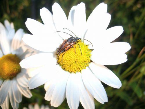 ilgapjūrio vabalas,vabalas,poravimas,gėlė,vabzdys,gamta,augalas,fauna,Uždaryti,mylėtis