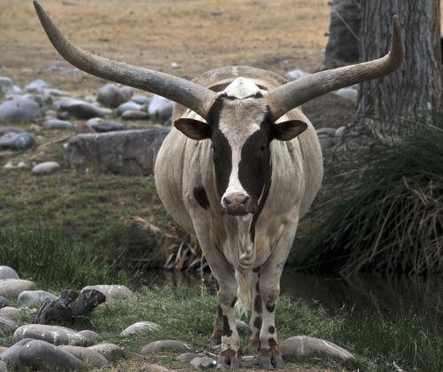 valdyti, karvė, ragai, ilgaplaukiai, Longhorn & nbsp, vairuoti, gyvūnas, laukinė gamta, ilgaplaukis vairuoti