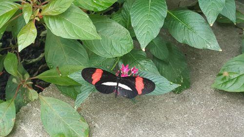ilgaplaukis drugelis,gamta,drugelis,heliconius,spalvinga,augalas,atogrąžų,natūralus,pavasaris