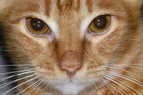 atrodo,katė,kačių išvaizda,kačiukas,naminis gyvūnėlis,priežiūros vaikas,kačių,katės akys,kačių veido,akys,Naminiai gyvūnai,kačių sustojo,gyvūnas
