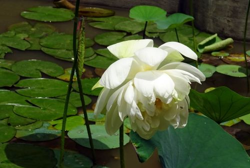 lotosas,gėlė,balta,Nelumbo nucifera,Indijos lotosas,šventasis lottas,Dharwad,Karnataka,Indija