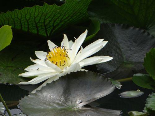 lotosas,gėlė,tvenkinys,augalas,žydėti,flora,žydi,vandens,žiedas,sodas,lapai,ežeras,botanika,lauke,spalvinga,balta,žalias,gamta,spalva,aplinka,šviežias,sodininkystė,botanikos,sezonas,natūralus,parkas,sezoninis,spalvinga,spalva,vaizdingas,kraštovaizdis,ujjain,Madhya Pradesh,Indija,gražus,neįtikėtina Indija,Šalis,peizažas,asija