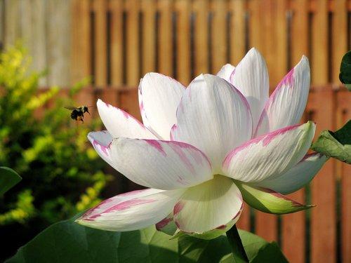 Lotus, gėlė, baltos spalvos, Žiedlapis, lotuso gėlė, žiedas, žydi, augalų, žydi, vasara, natūralus, žydi, gamta
