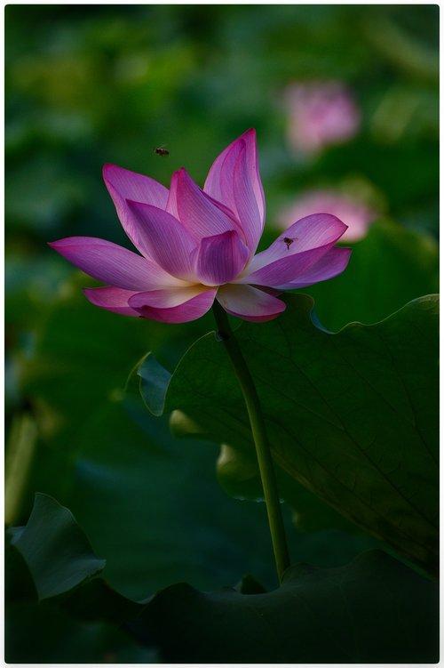 Lotus, rožinis, vabzdžiai, gamta