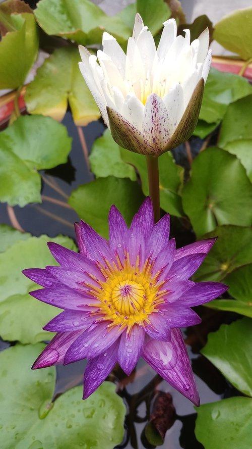 Lotus, vandens augalai, lelija, gėlės, rožinė Lotus, žydi, meditacija