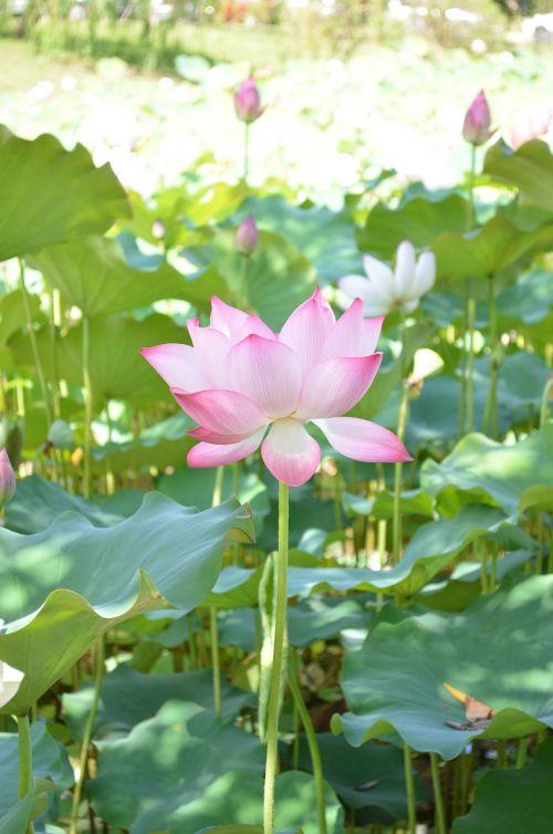 lotosas, gėlė, olandų, vandens lotosas, tvenkinys, gamta, augalas