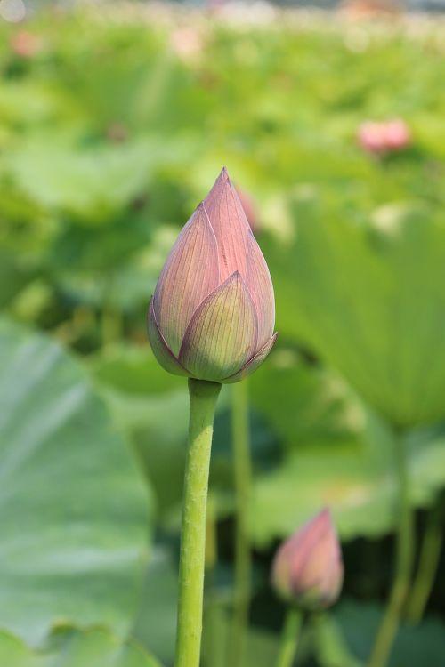 lotus budas,lotosas,gėlė,žydi,rožinis,augalas,budas,natūralus,žiedlapis,sodas,žiedas,žydėti,flora,vanduo,vandens,ežeras,tvenkinys,botanika,egzotiškas,vandens lelija,šviežias,gamta,žalias