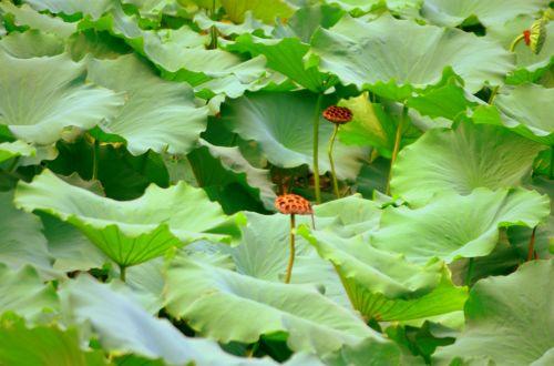 gėlės, augalai, vandens & nbsp, augalai, pod, ankštiniai, gėlė & nbsp, pod, lapai, lotosas, lotus & nbsp, gėlė, vanduo & nbsp, lelija, lotoso lapai ir ankštiniai