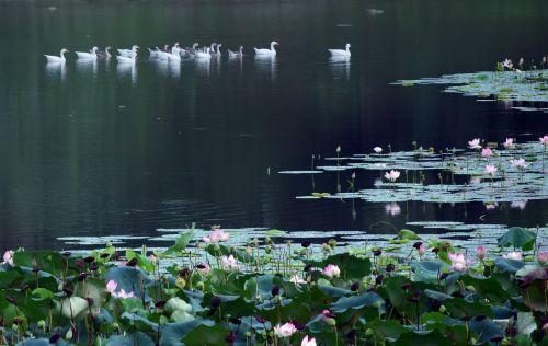 lotosas, gėlė, gamta, tvenkinys, vanduo, lapai, lotoso tvenkinys 2