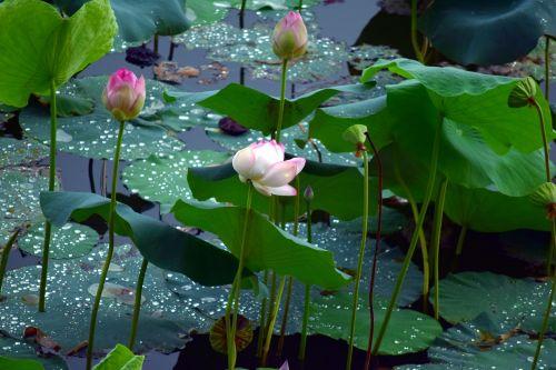 lotosas, gėlė, gamta, tvenkinys, vanduo, lapai, lotoso tvenkinys