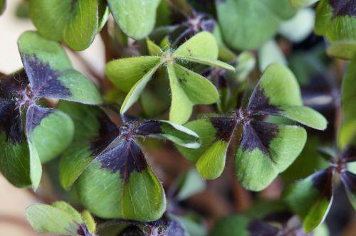 sėkmė,laimingas dobilas,klee,vierblättrig,augalas,rūgštynė,keturios medienos rūgštynės,laimingas žavesys,laimingas pasiuntinys,dekoratyvinis augalas