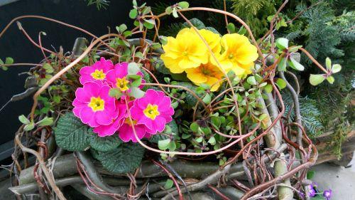 laimingas dobilas,Primozė,pavasaris
