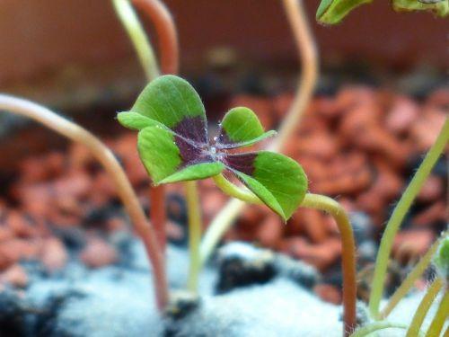 laimingas dobilas,klee,augalas,vierblättrig,sėkmė,oksalis tetrafilla,keturios medienos rūgštynės,žydintis augalas,rūgštynė,oksalis,bendras morkų augalas,oxalidaceae,oxalis deppei,dekoratyvinis augalas,laimingas žavesys,laimingas pasiuntinys