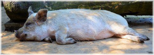 kiaulė, ūkis, gyvuliai, gyvūnai, maistas, pjaustyti, tingus, tingus kaip kiaulė
