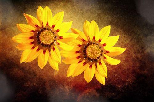 pietūs aukso gėlės,gėlės,geltona,aukso vidurdienis,dažymas,augalas