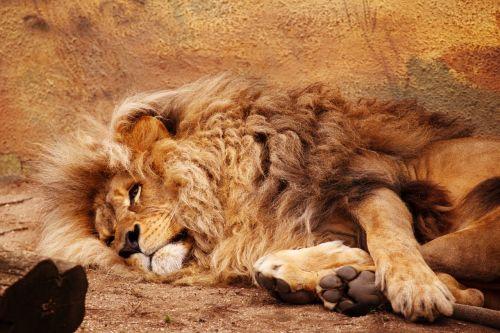 Afrikos, gyvūnas, didelis, mėsėdis, katė, žemyn, kačių, kailis, pūkuotas, liūtas, melas, Patinas, žinduolis, plėšrūnas, poilsio, laukinė gamta, leo, poilsis, meluojantis liūtas