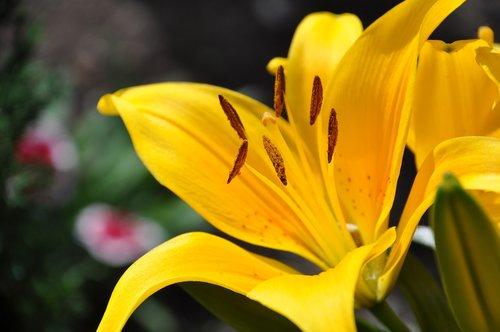 Lys, geltonos lelija, balta lelija, gėlių sodas, Sodas, pobūdį, puokštė, lelija oranžinė, Vestuvės, rytietiški lelija, žydėjimo, Grynumas, žydi, daugiamečių, oranžinė lelija, žiedlapiai, gėlės, geltona, lelija rožinė, geltonos gėlės, kuokelis, vasara, pavasaris, spalvos, saulė