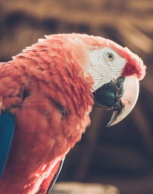 macaw,ave,atogrąžų paukštis,džiunglės,gamta,gyvūnai,paukštis,raudona,raudona paukštis,egzotinė paukštis,papūga,spalva,guara,Red macaw