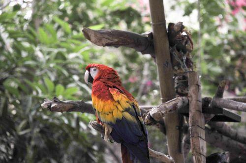 papūga, papūgos, macaw, macaws, ešeriai, paukštis, paukščiai, laukinė gamta, egzotiškas, sėdi, plunksnos, paprastasis paprikas