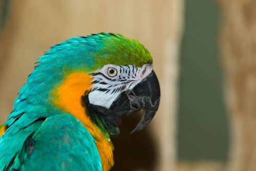 paprastasis paprikas,papūga,paukštis,macaw,laukinė gamta,egzotiškas,laukiniai,naminis gyvūnėlis,mielas,gyvūnas,atogrąžų