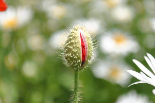 Mack,agurkas,Gegužė,žydėti,gėlės,vasaros gėlės,budas