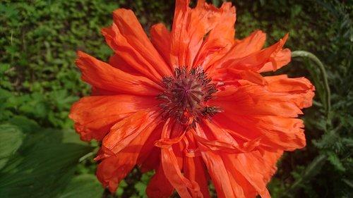 MACK, raudona aguonos, gėlė, raudona gėlė, kilpiniai MAK, raudona, Iš arti, makro, pistils, kuokelių, žalias, vasara, laukas, pobūdį, žydi, Gražu, šviesus, ne žmogus