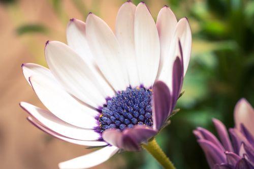 makro,osteospermumo ecklonis,viršukalnės krepšys,bornholm marguerite,gėlė balta,mėlynas,violetinė,marguerite,žiedas,žydėti,gėlė,gamta,augalas,žydėti,Uždaryti