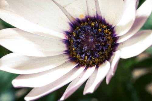 makro,osteospermumo ecklonis,viršukalnės krepšys,bornholm marguerite,gėlė balta,mėlynas,violetinė,marguerite,žiedas,žydėti,gėlė,gamta,augalas,žydėti,Uždaryti,žiedadulkės