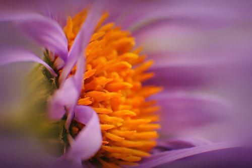 makro,žiedas,žydėti,gamta,Uždaryti,makrofotografija,gėlė,žydėti,flora