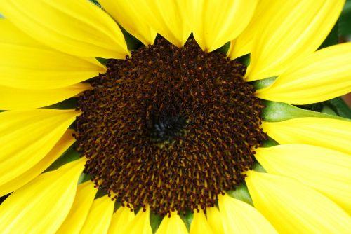 makro,makro nuotrauka,makrofotografija,žiedas,žydėti,saulės gėlė,helianthus annuus,Uždaryti