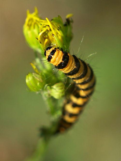 makro,lerva,vabzdys,drugelis,Uždaryti,spalva,gamta