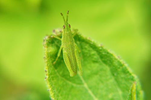 makro,makrofotografija,vabzdžiai,sodas,Salvadoras,lapai,entomologija,evoliucija