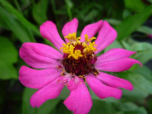 makro,makrofotografija,gėlė,graži gėlė,grazi asija,plantacinis namas,rožinė gėlė,sodininkystė,makro pobūdis,gamtos fonas