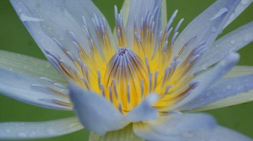 makro,priartinti,gėlė,lelija,balta,Grynumas,gėlių,geltona,grynas,vanduo,gamta,Hawaii,priartinti,kelionės,pavasaris
