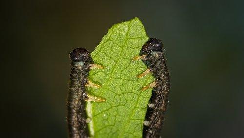 makro, vabzdžiai, vikšrai