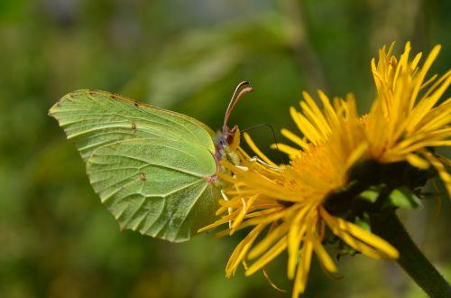 makro,drugelis,skraidantys vabzdžiai,gamta,gėlė,geltona