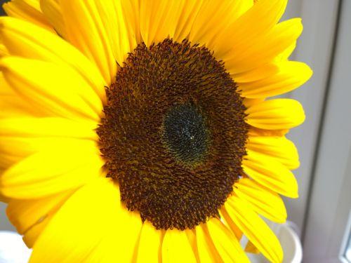 uždaryti & nbsp, saulėgrąžos, gėlė, geltona, Iš arti, makro, išsamiai, makro atogrąžų saulėgrąžų