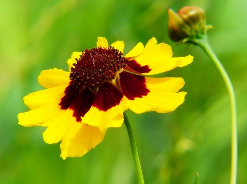 kalnų augalas,coreopsis tinctoria,aštraus gėlė,gėlių pieva,geltona,ruda,vasaros pieva,pieva