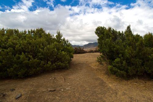 Madeira,pušis,miškas
