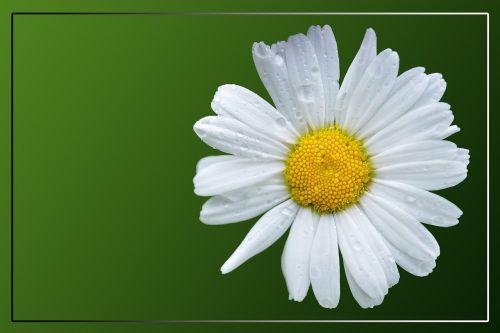 marguerite,Daisy,žiedas,žydėti,kompozitai,balta,vasara