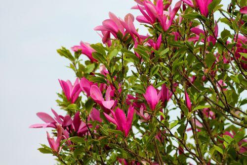 magnolija,tulpių medis,gėlės,mediena,tulpių šaka,gražus,turėti,filialas,vasara,rožinis,augalas,rožinė gėlė,sodas,denmark