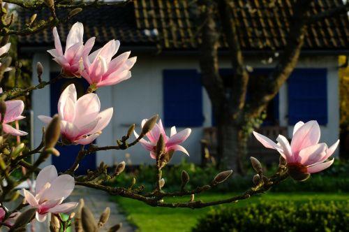 magnolija,gėlės,pavasaris,Gegužė,žiedas,žydėti,sodas,sodo skėtis,hobis sodas,idilija,sodo idilija,Diuseldorfas,Vokietija
