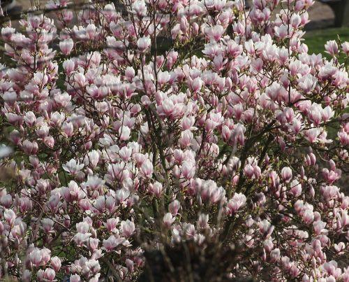 magnolija,tulpių medis,pavasaris,gamta,gražus,žiedas,žydėti,medis,rožinis,frühlingsblüher,gėlės
