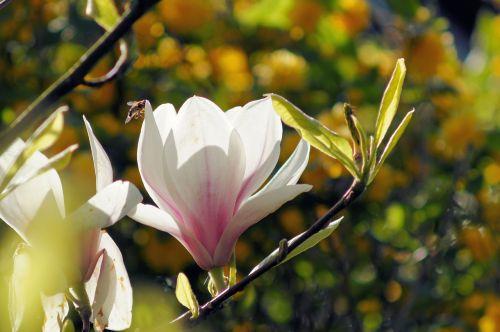 magnolija,žiedas,žydėti,gėlė,gražus,švelnus