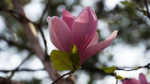 magnolija, pobūdį, augalai, gėlės, Sodas, mediena, parkas, kraštovaizdis, pavasaris, Grožio, pavasario gėlės