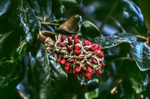 medis, medžiai, pod, magnolija, sėkla, sėklos & nbsp, pod, augalas, gamta, raudona, magnolijos medis
