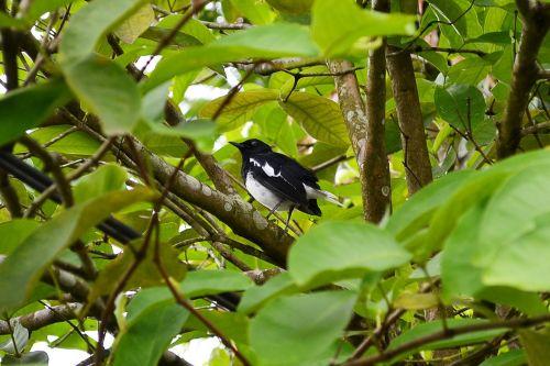 šuniukas robin,paukštis,gamta,laukinis gyvenimas,Šri Lanka,ceilonas,Mawanella