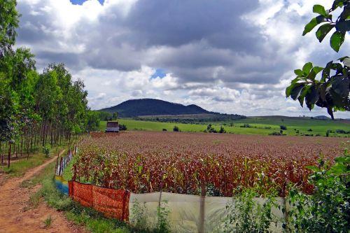 kukurūzai,auginimas,kukurūzai,saree tvoros,derlius paruoštas,kalnas,kraštovaizdis,dangus,debesys,tamsi,Hubli-Siris kelias,uttar kannada,Indija